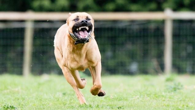 Un chien s'approche en courant et en montrant les dents.