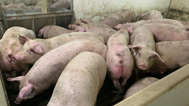 Plusieurs cochons vivent à l'étroit dans une porcherie.