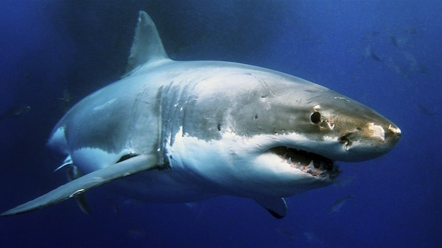 Photo d'un grand requin blanc sous l'eau.