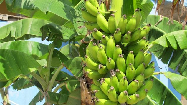 Un bananier