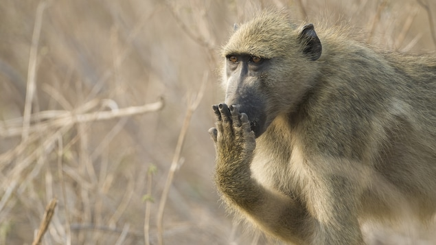 Les babouins sont malins!