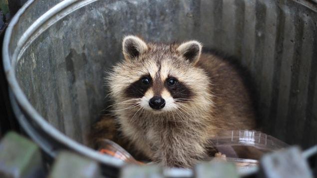 Un raton laveur dans une poubelle.