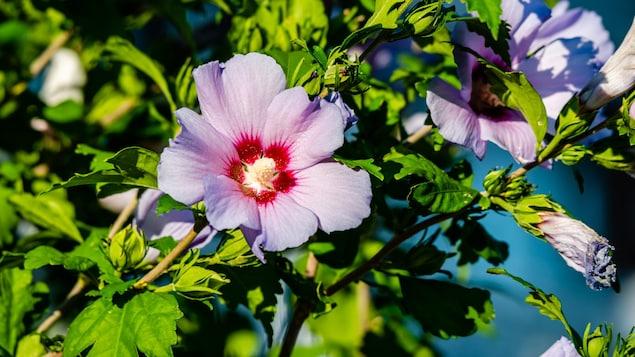Un fleur d'hibiscus déploie toutes ses couleurs dans un jardin.