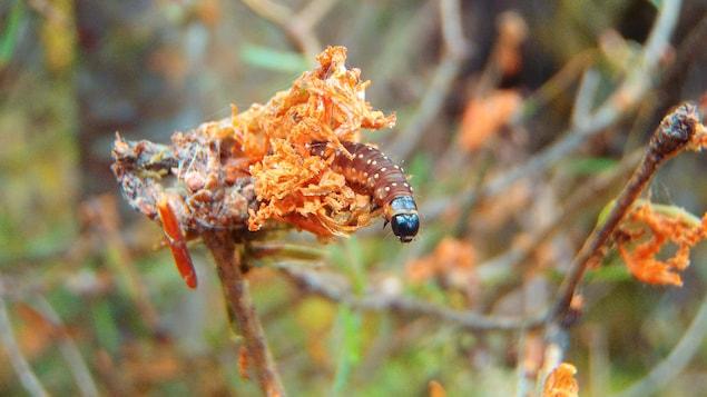 Chrysalide de tordeuse sur la Côte-Nord