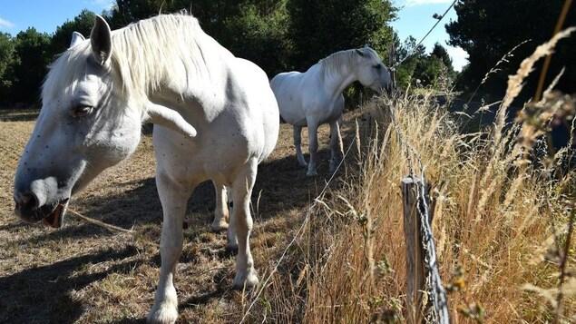 Deux chevaux dans un pâturage.