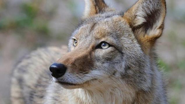 Un plan rapproché de coyote.