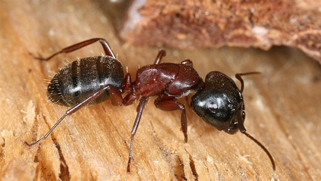 Une fourmi charpentière