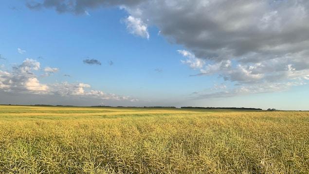 Un champ de canola à perte de vue sous un ciel à demi dégagé.