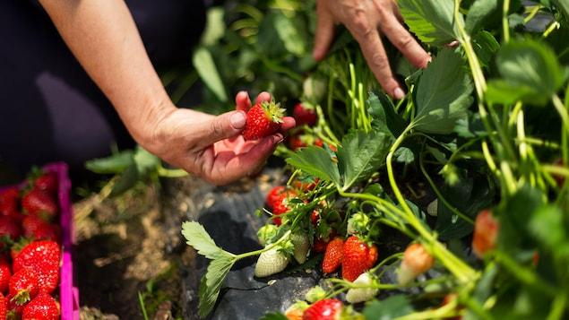 Une personne en train de cueillir des fraises.