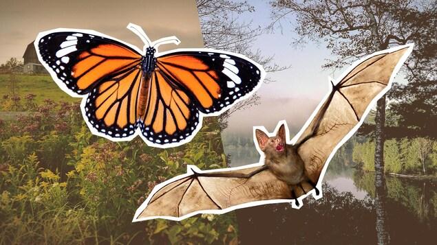 Montage photo d'un papillon Monarque et d'une chauve-souris sur des paysages de la région de l'Outaouais.