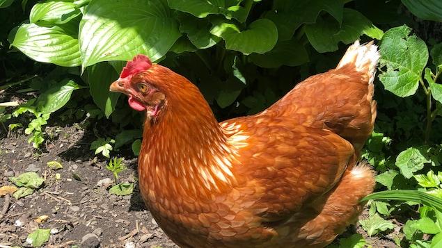 Une poule dans un jardin.