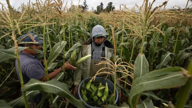 Des travailleurs migrants récoltent du blé d'Inde.