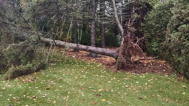Un arbre déraciné.