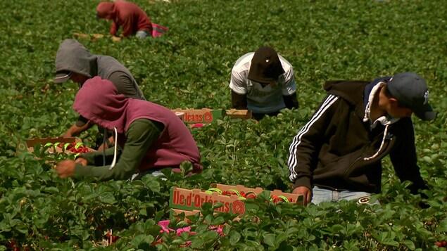 Dans gens cueillent des fruits dans un champ.