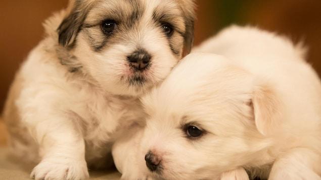 deux mignons petits chiots.