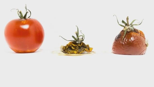 Une tomate mûre et 2 tomates en décomposition.