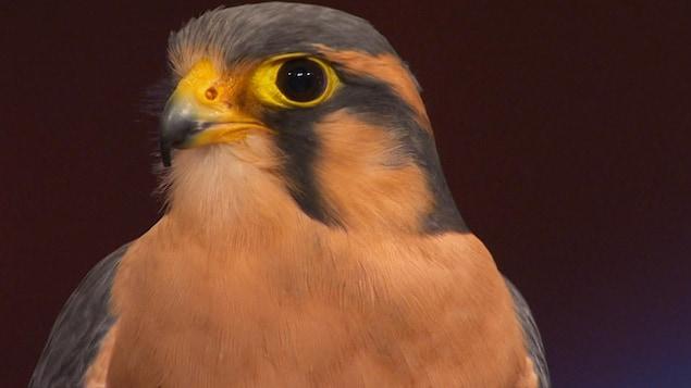 On voit la tête d'un faucon à l'œil vif et au petit bec.