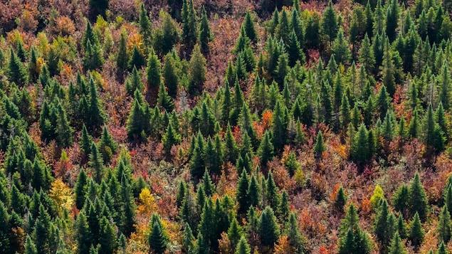 Une forêt boréale remplit de sapin et d'arbres de couleurs.