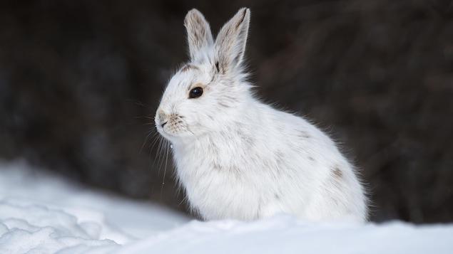 Un lièvre d'Amérique blanc sur la neige.