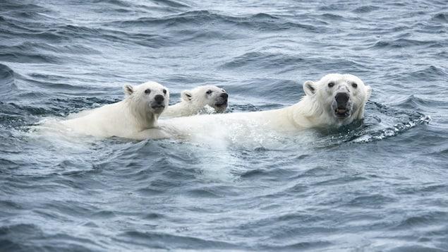 Les oursons suivent l'ours polaire.
