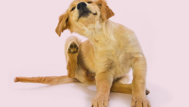 Un Golden Retriever qui se gratte.