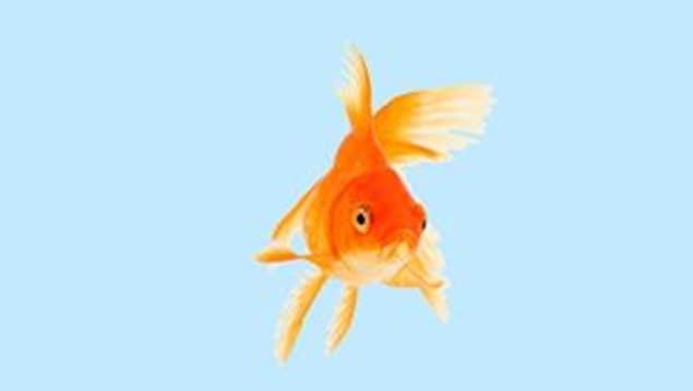 Un poisson rouge sur fond bleu pâle.