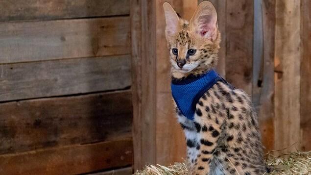 Un chat sauvage à grandes oreilles aborde un pelage rappelant un petit guépard.