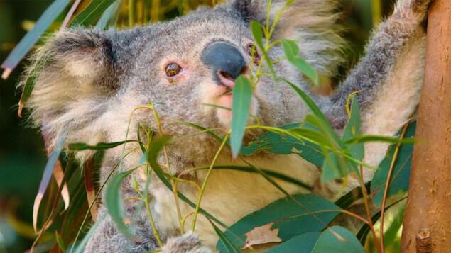 Il mange du bambou