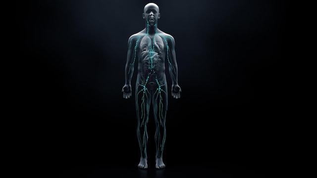 Un corps humain est représenté à l'aide d'une image en trois dimensions.