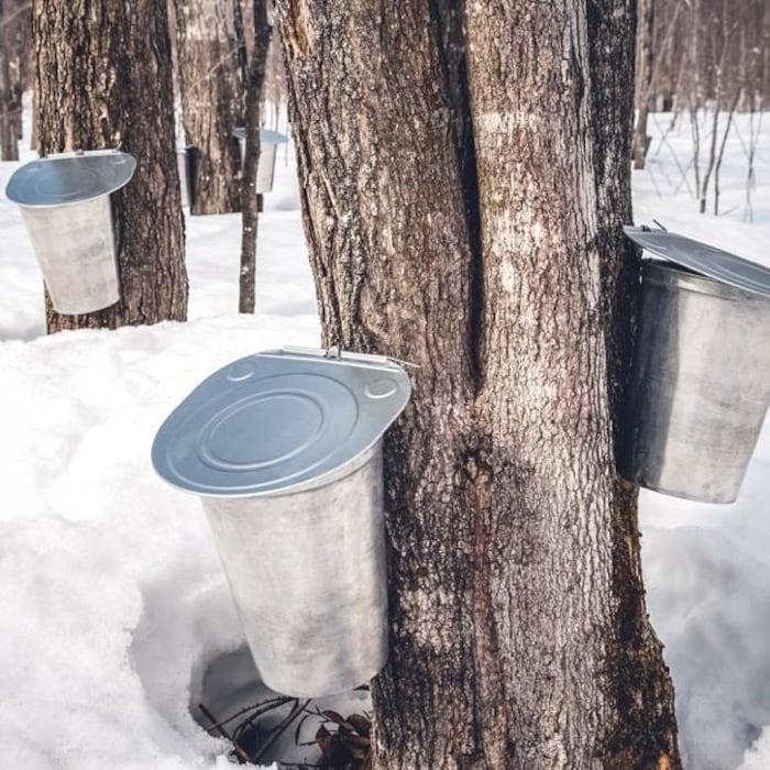 Des sceaux sont fixés aux troncs d'érables pour récolter leur sève.