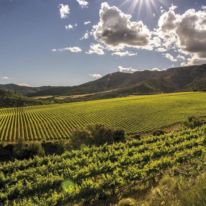 Un champ de vignes sous le soleil.