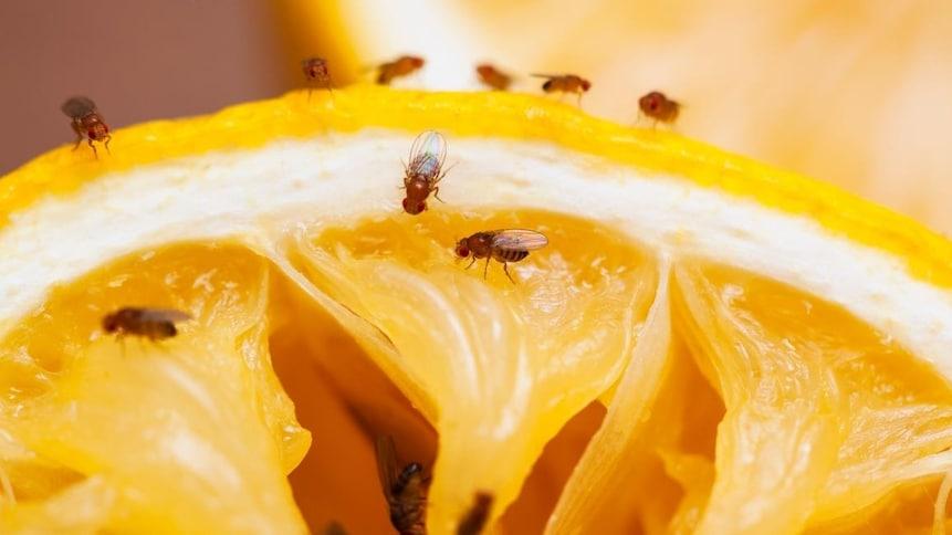 Des mouches à fruits se retrouvent sur une orange.