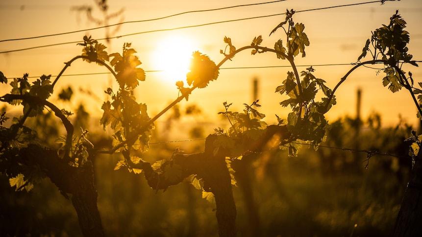 Des vignes au coucher du soleil.