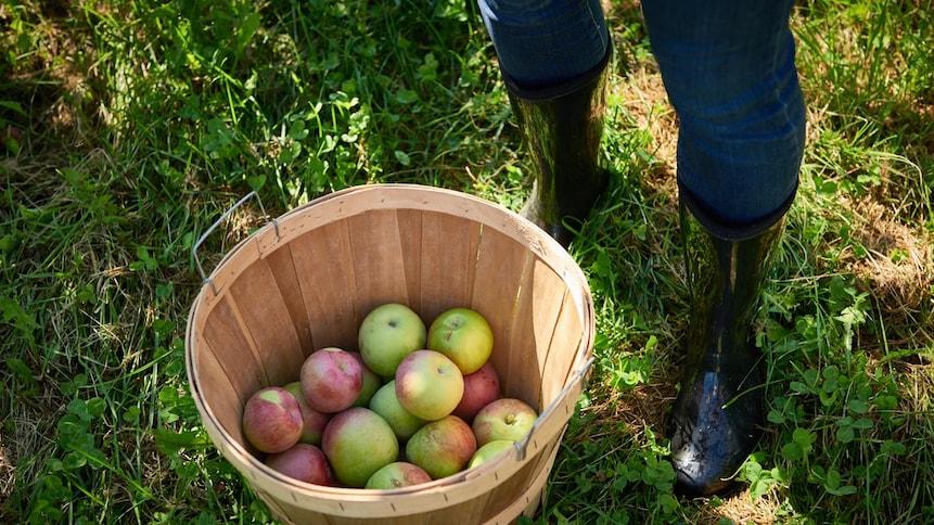 Une personne a cueilli des pommes dans un verger. Elle a déposé les fruits dans un panier.