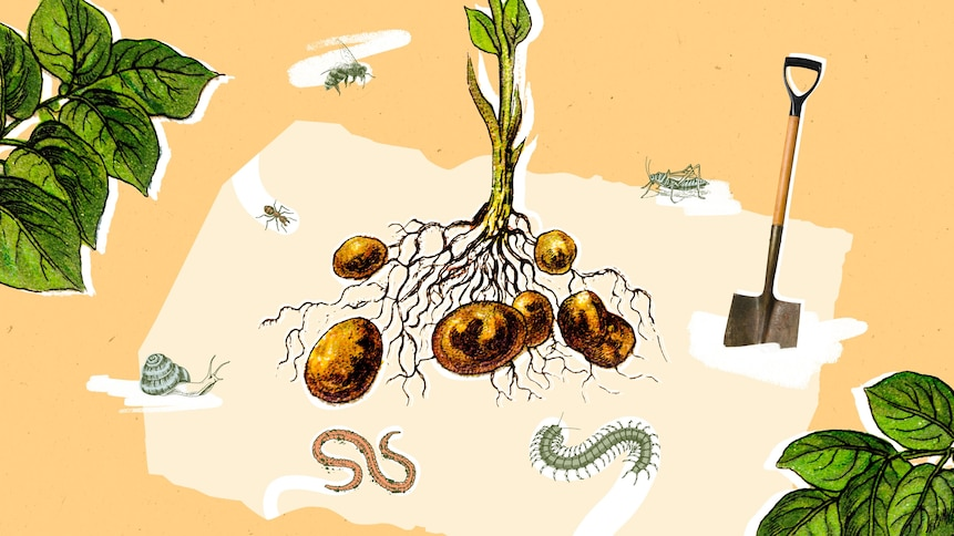 Visuel de pomme de terres entourées de vie.