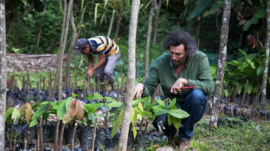 Un homme s'occupe de petits plants de cacaoyer dans la forêt.