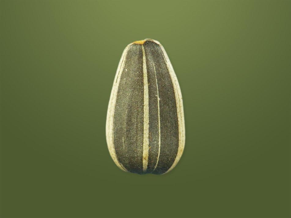 Une graine de tournesol en plan rapproché.