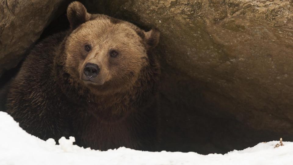 Un ours sort de sa tanière.