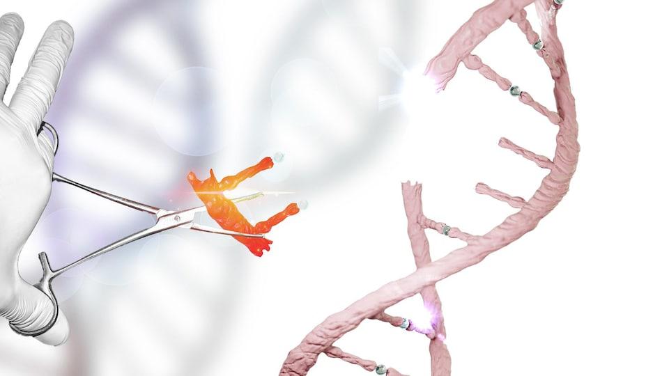 Un segment d'ADN se fait remplacer à l'aide d'un ciseau moléculaire.