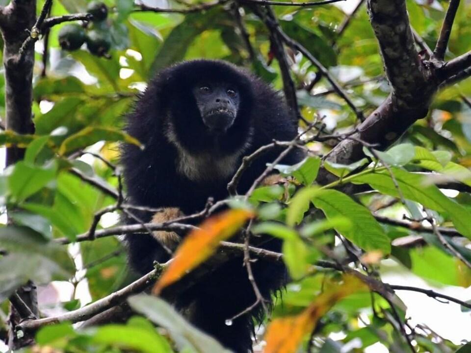 Un singe mange des fruits dans un arbre.