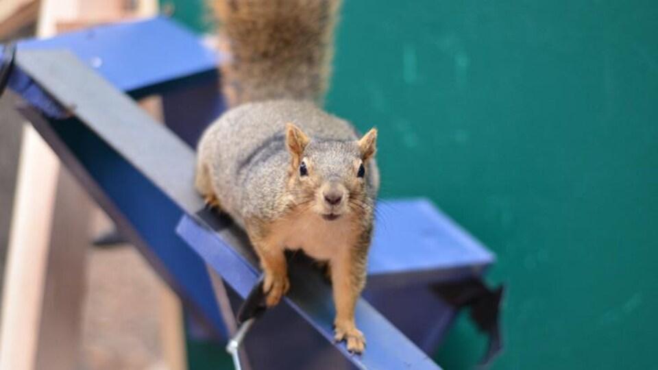Un écureuil se tient sur le parcours créé pour l'expérimental.