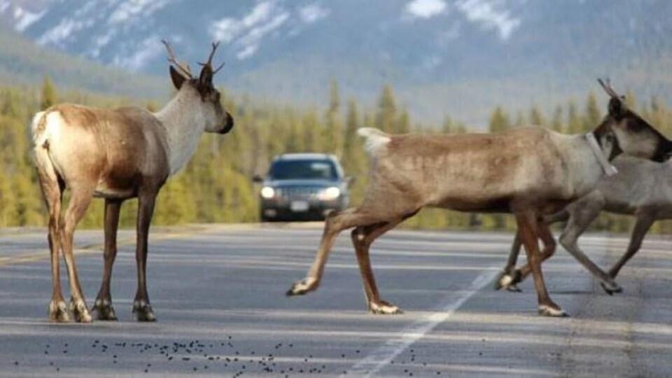Des caribous sur une route.