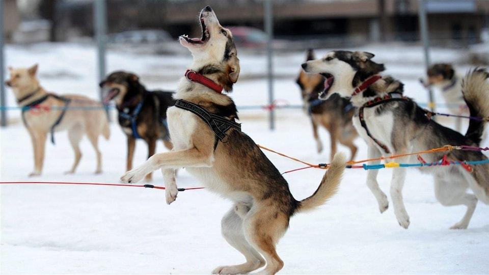 Des chiens de traîneau dans la neige.