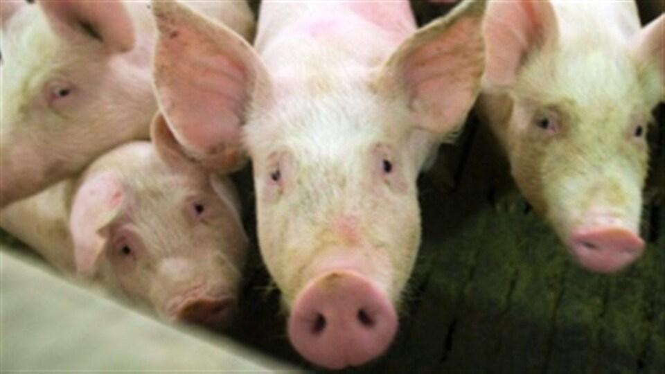 Des cochons dans une ferme