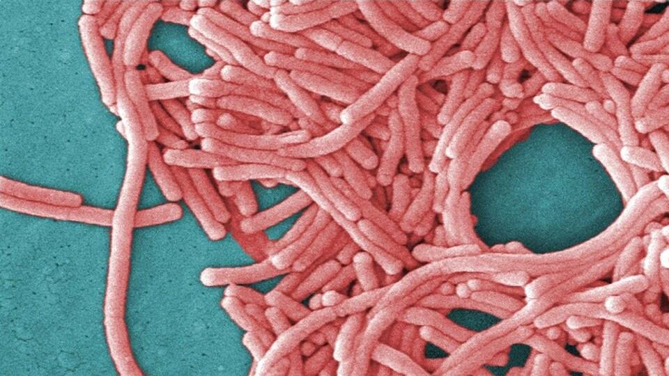 La bactérie responsable de la légionellose.
