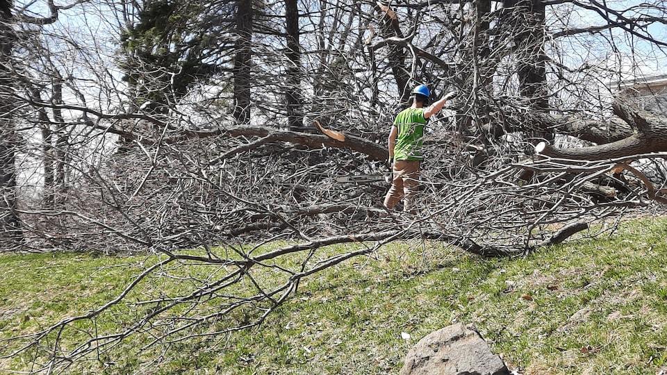 Un homme coupe des arbres aux abords de l'église Saint-Louis-de-France, à Québec