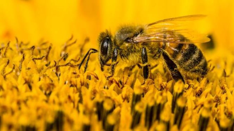 Les pesticides néonicotinoïdes agissent sur le système nerveux central des insectes.