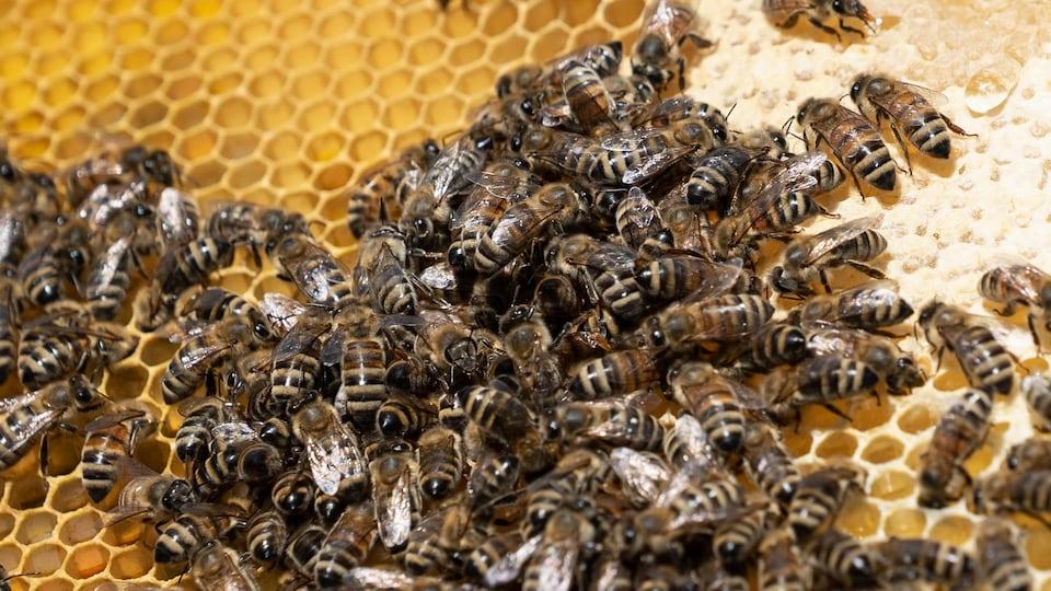 Une colonie d'abeilles.