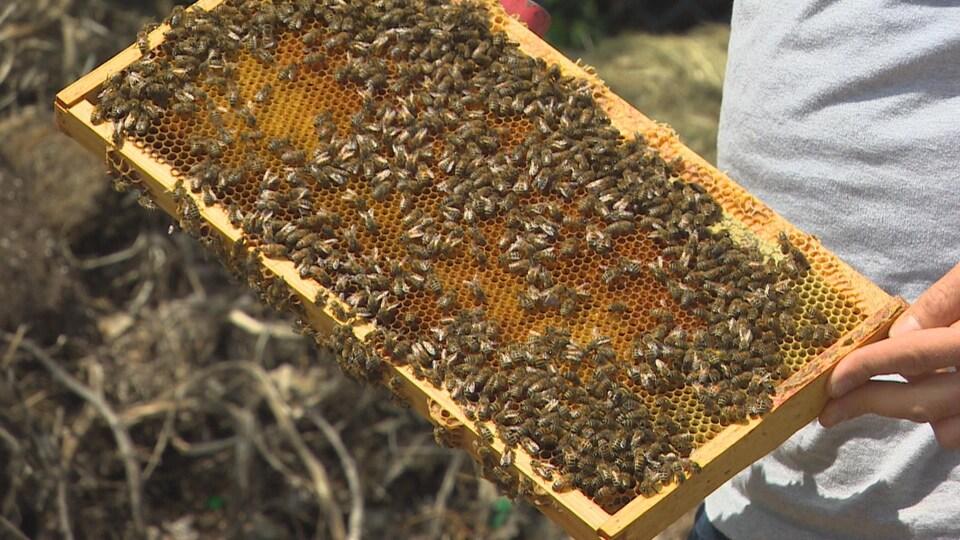 Des dizaines d'abeilles sur une ruche, tenue par les mains d'un homme.