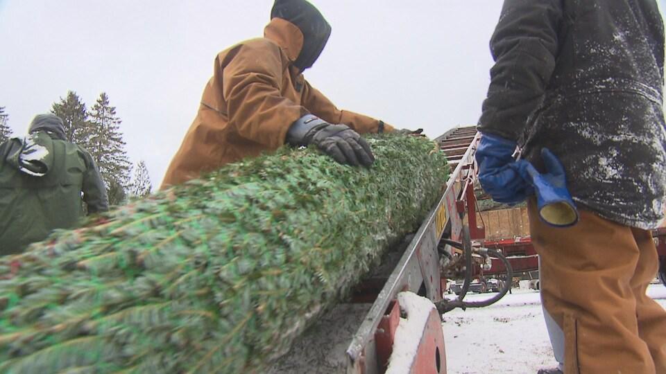 Des arbres de Noël cultivés en Estrie prêts à être exportés. Le sapin est emballé et une machine le roule jusque dans un camion.